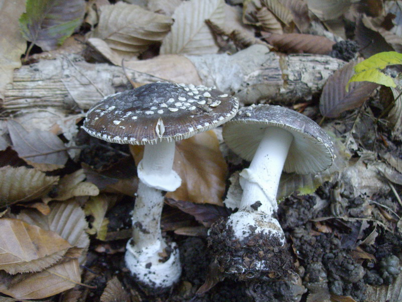 Amanita pantherina.jpg