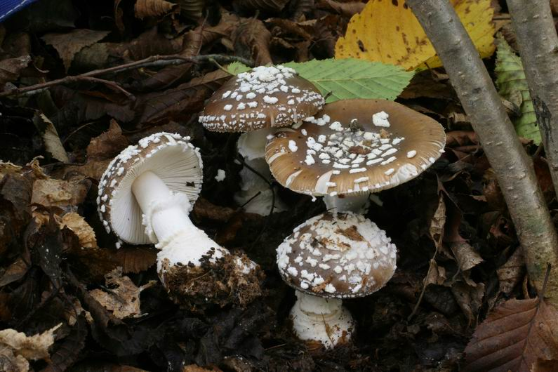 Amanita pantherina 6.jpg