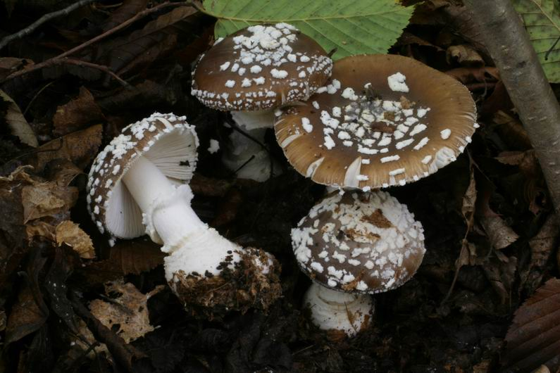 Amanita pantherina 7.jpg