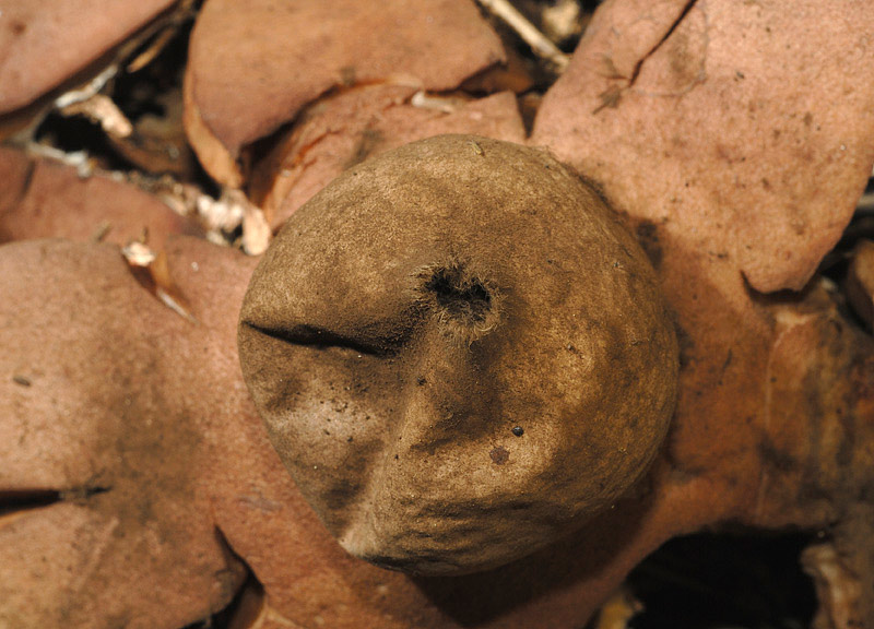 Geastrum_rufescens_02.jpg