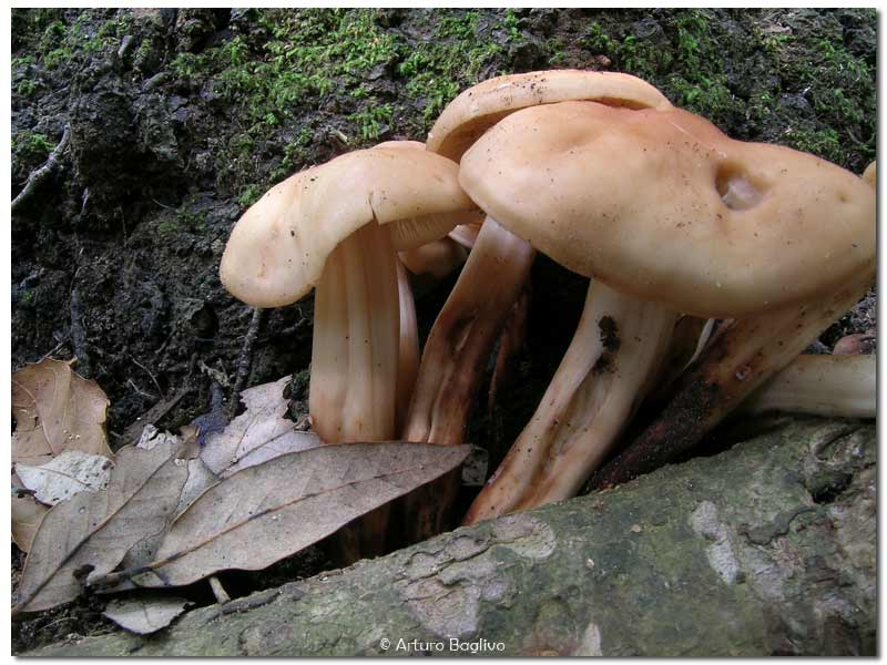 Collybia fusipes.jpg