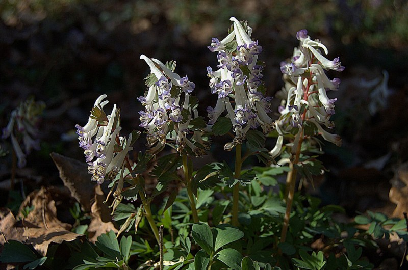 Corydalis sp.  [800x600].jpg