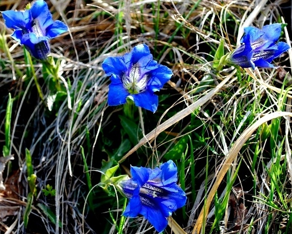 Gentiana clusii (Perrier &Songeon).JPG