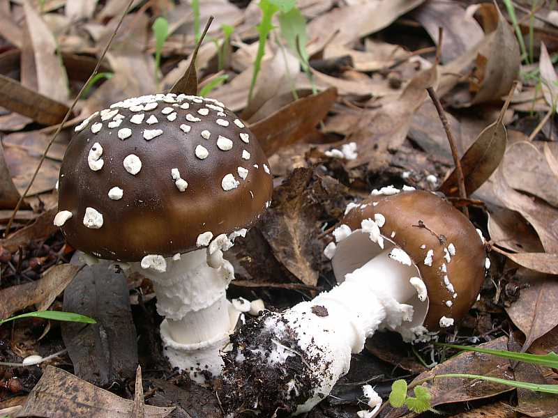 Amanita Pantherina  01.jpg