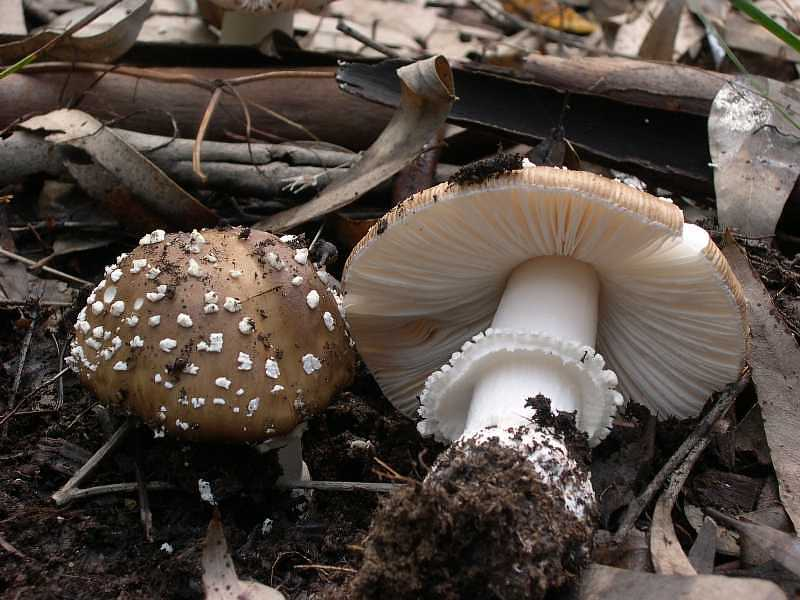 Amanita pantherina1.jpg