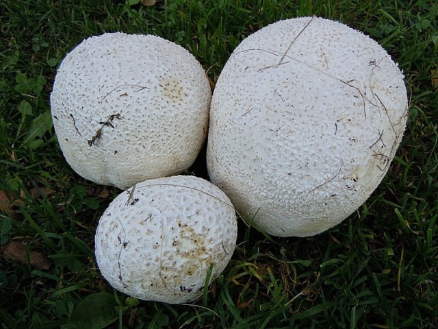 Lycoperdon maximum Schaeff..JPG