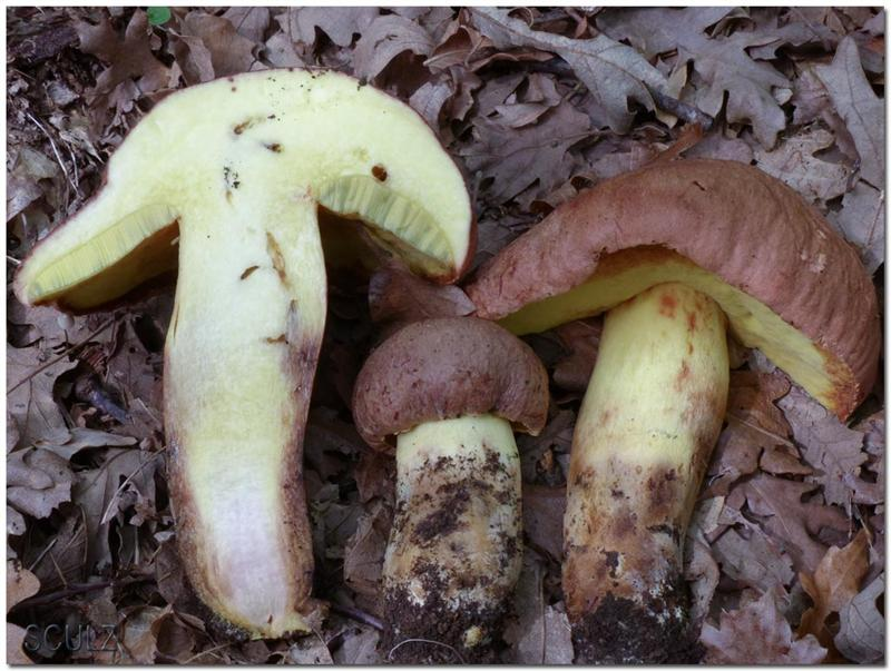 Boletus_appendiculatus_1000193-Modifica (Medium).jpg