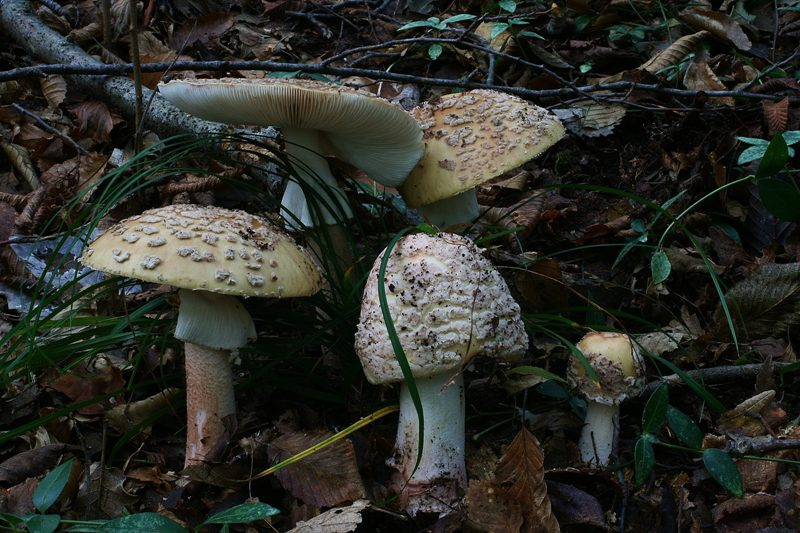 Amanita rubescens 40 - Copia.JPG
