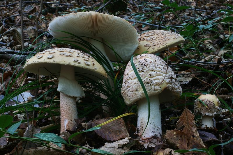 Amanita rubescens 41 - Copia.JPG