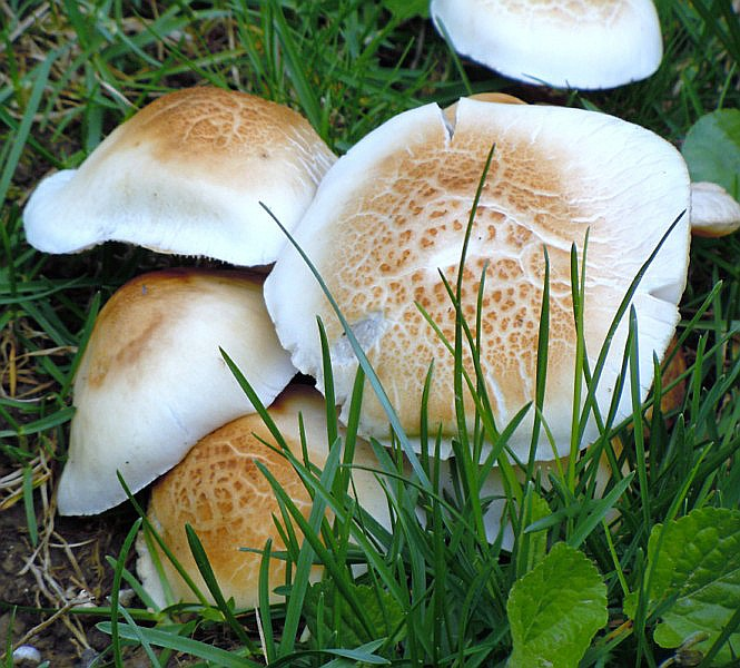 Agrocybe_cylindracea (D. C. ) Maire.JPG