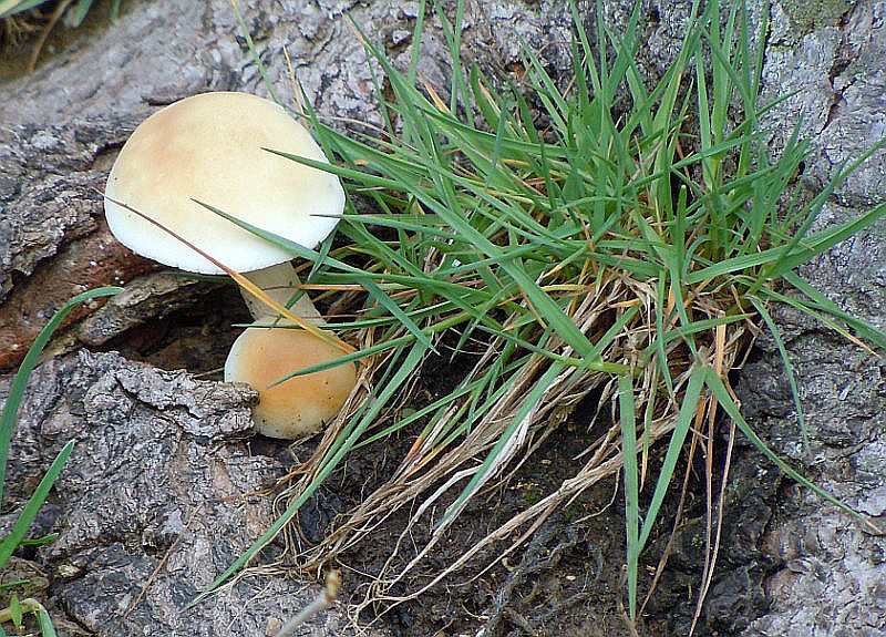 Agrocybe_cylindracea (D. C.) Maire (2).JPG