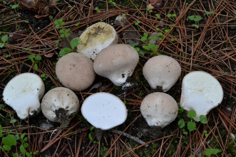 Lycoperdon sp..jpg