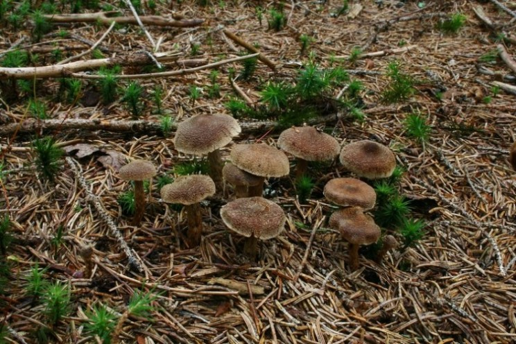 Cortinarius flexipes 1.jpg