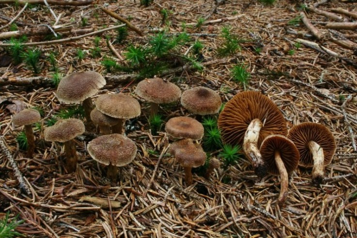Cortinarius flexipes 4.jpg