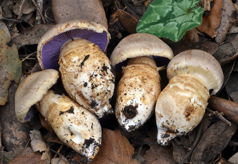 Cortinarius-caligatus-.jpg