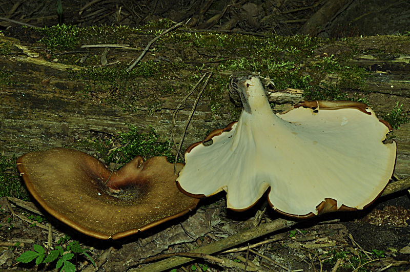 17-Polyporus_picipes-DSC_0215.jpg