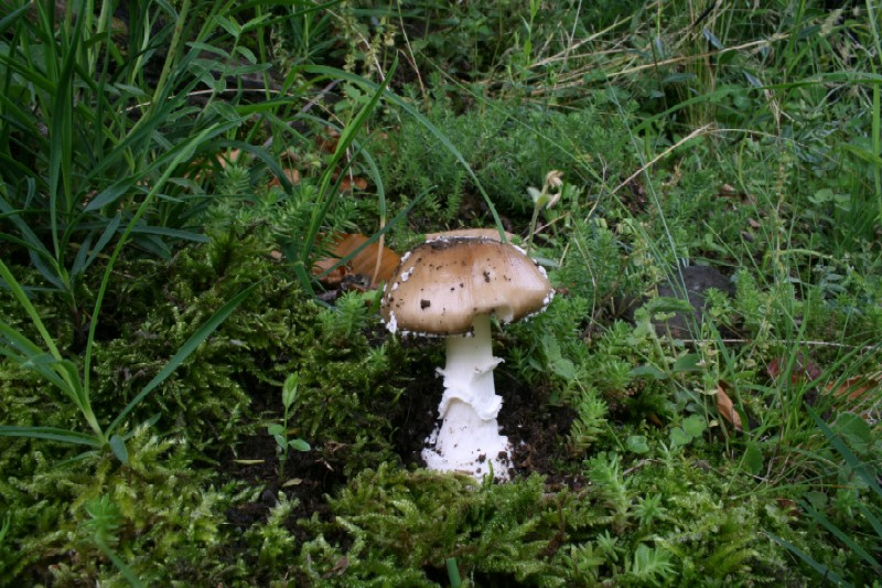 Amanita pantherina 1.jpg
